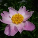 ピンク芍薬