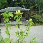 黄モクレン